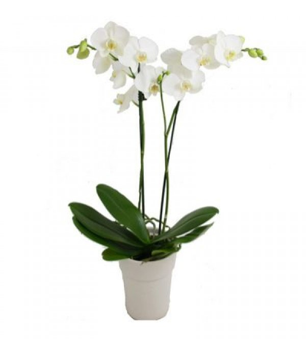 2li beyaz orkideMC 403