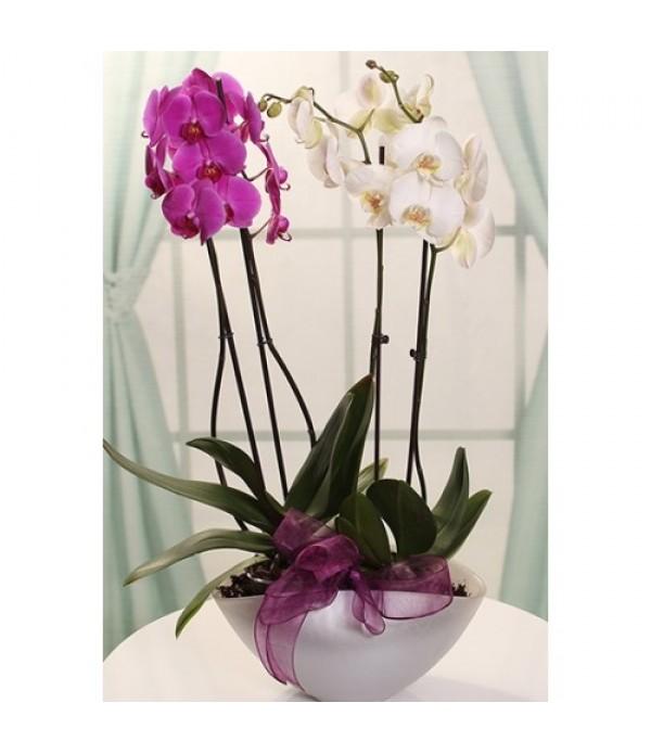 mc 408 2 renk 4 lü orkide
