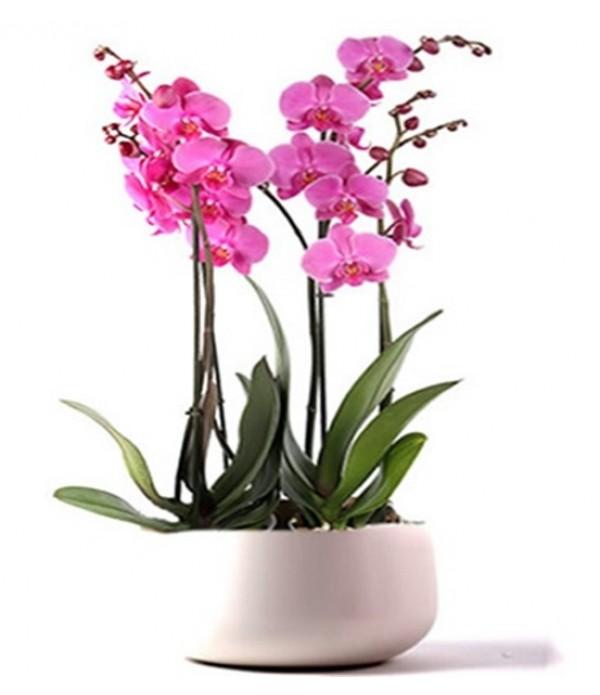 4lü  orkide seramik vazoda  - MC 404