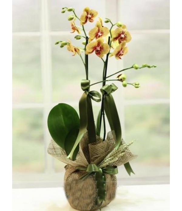 sarı kırçıllı orkide 2 li - MC 401
